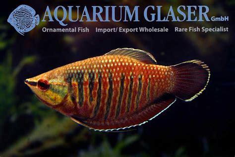 sphaerichthys vaillanti aquarium glaser gmbh