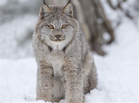 lynx genome umass amherst
