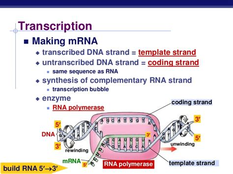 What Is A Template Strand by Chapter 17 Gene To Protein