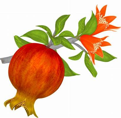 Pomegranate Clipart Vector Pomegranates Branch Transparent Background