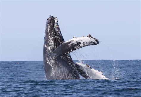 whale watching  holmavik   westfjords