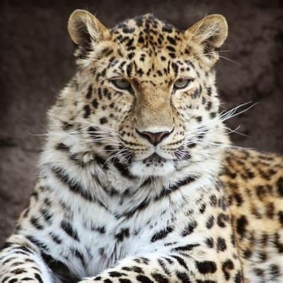 Screensavers Leopard Animal Exotic Wild Screen Desktop