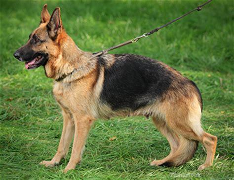 ehrlichiosis in dogs ehrlichiosis in dogs