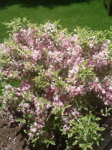 Pink Flowering Shrub and Bush Identification