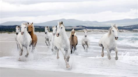 Beautiful White-horse-running-beach-wallpaper Hd 78294