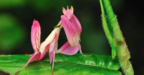 fascinating orchid praying mantis beautiful beauty nature ntd tv