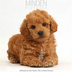 Minden Pictures stock photos - Toy goldendoodle (F1b ...