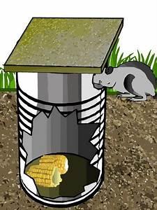 Comment Pieger Une Fouine : pi ge rat fait maison avec une grande boite de conserve cages oiseaux pi ges rats ~ Medecine-chirurgie-esthetiques.com Avis de Voitures