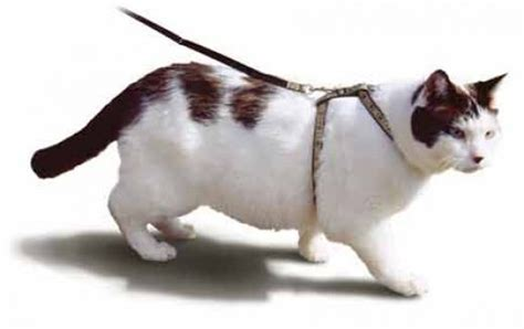 cat leash teaching your cat to walk on a leash check out our