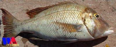 fish  fishing western australia