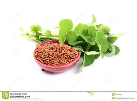 Fenugreek Royalty Free Stock Photo Image 28247405