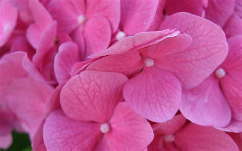 pink flower pink flower wallpaper 36359