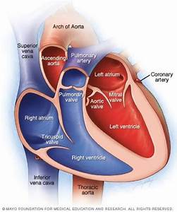 Heart Anatomy At Berry College