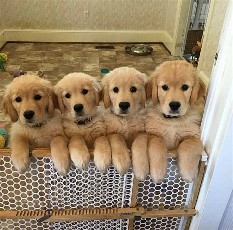 The Cutest Golden Retriever Puppies Ever Cute Overload
