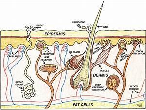 Natural Skin Care Tips  U0026 Healthy Skin Diagram