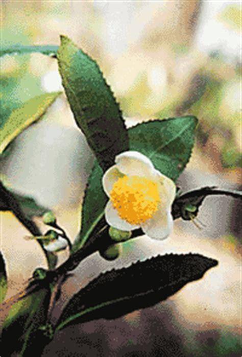 are camellias edible tea camellia edible landscaping
