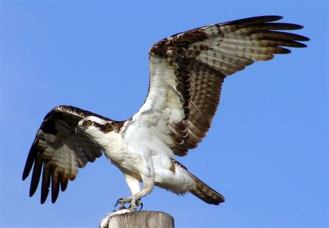 Images Of Osprey Osprey The Of Animals