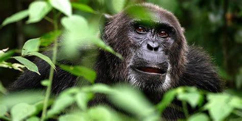 Bili apes - lion killers   DinoAnimals.com