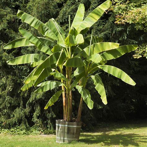 planter un bananier bananier rustique plantes et jardins