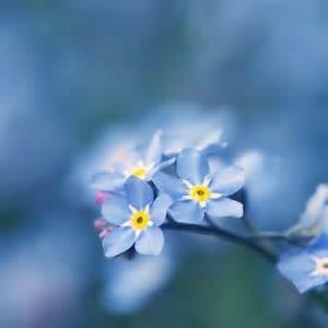 Alaska Flower Forget Me Not