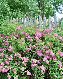 Garden Beauty  Pink Spirea Shrub