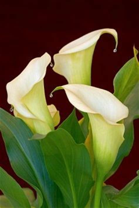 calla care best 25 lily care ideas on pinterest peace lily peace lily plant and lilly garden