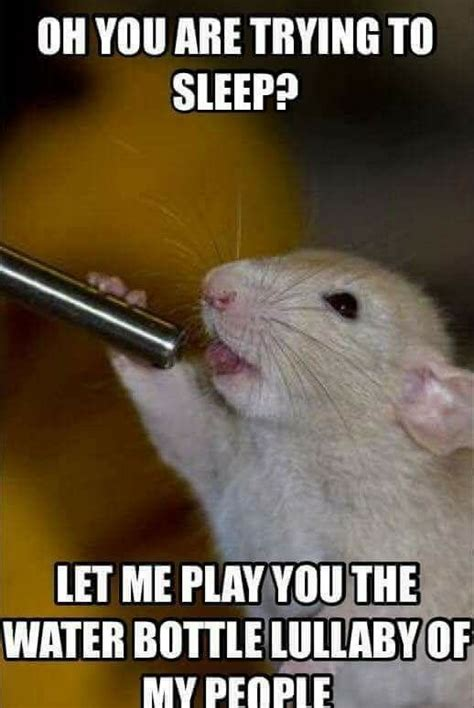 Rodent Meme - 635 best rat fun images on pinterest cubs animal paintings and budgie toys