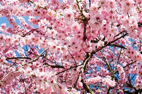 places   cherry blossoms   blooms