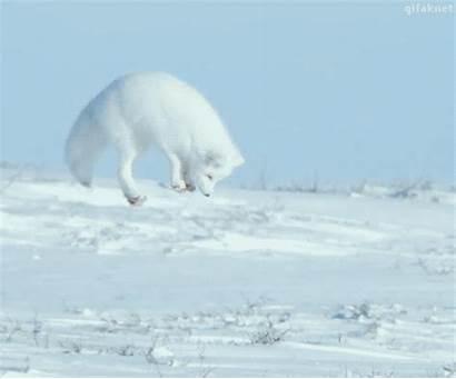 Arctic Fox Foxes Gifs Polar Funny Animal