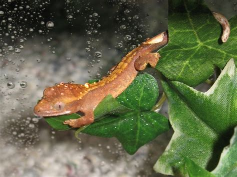 crested gecko shed box you want a healthy crested gecko follow the tips page 35