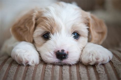 puppies  nh  puerto rico   leptospirosis time