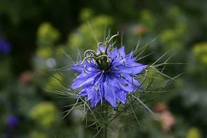 Nigella damascena Words and Herbs