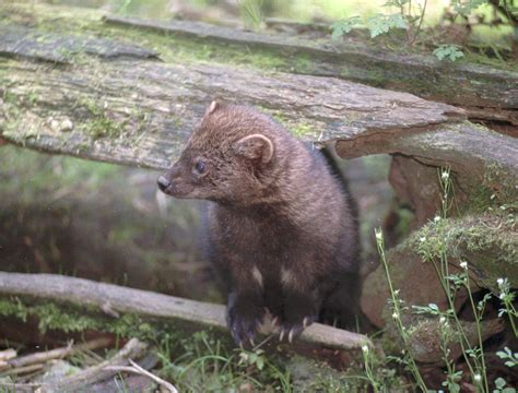 Rare Pacific Fishers Set Free In Washington State
