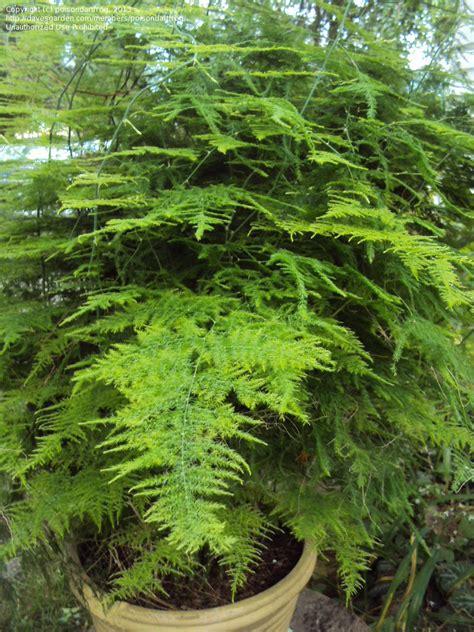 PlantFiles Pictures: Asparagus Fern, Plumosa Fern ...