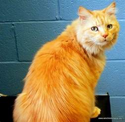 haired tabby cat haired orange tabby cat home is where the is