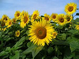 Helianthus; Jerusalem Artichoke; Sunflower