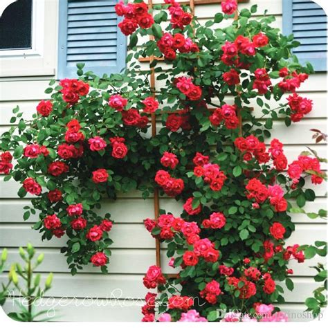 2017 Heirloom Climbing Rose Plant For Out Door Most