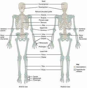 7 1 Divisions Of The Skeletal System  U2013 Anatomy And Physiology