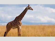 ¿Cuántos años viven las jirafas? Esperanza de vida de