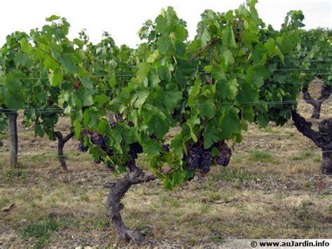 Tailler Une Treille De Raisin by Vigne Raisin Planter Cultiver R 233 Colter