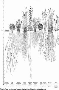 Root Systems Of Prairie Plants  From