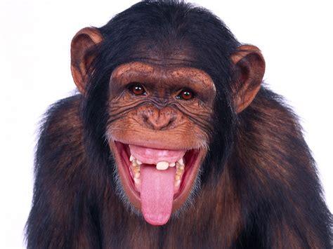 Fiddaman Blog Chimps Given Antidepressants