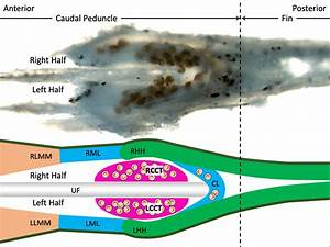 Invasive Parasite Robs Fish Of Ability To Swim  Poses