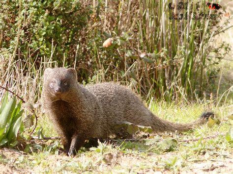 saca rabos herpestes ichneumon egyptian mongoose flickr