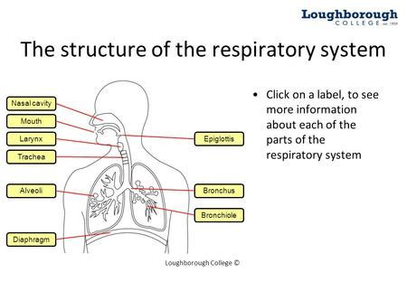 Respiratory System With Label Drawing At Getdrawingscom  Free For Personal Use Respiratory