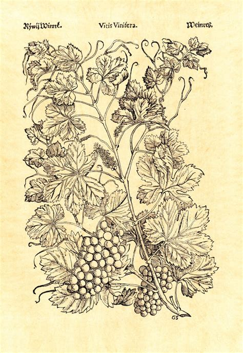 Herbarium Vitis Vinifera Wine By Vera35713 On Deviantart