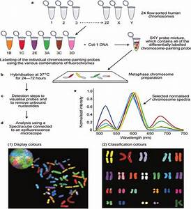 5 Schematic Diagram Of Cytogenetic Analysis Using Spectral