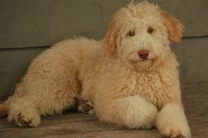 Charlie Caramel Australian labradoodle puppy available for ...