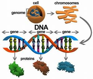 What Is The Difference Between Dna And Genes