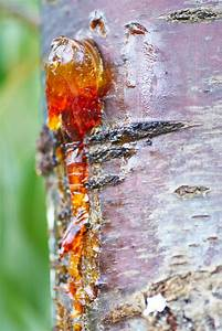 Solid Amber Resin Drops On A Cherry Tree Trunk  Stock
